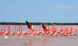 Flamingos in Biosphere Reserve of Celestun